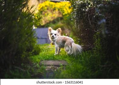 Long haired chihuahua in a backyard