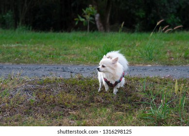 Long haired chihuahua defecate on grass in the garden.