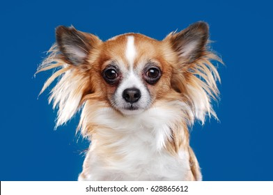 Long haired chihuahua dog closeup portrait on blue