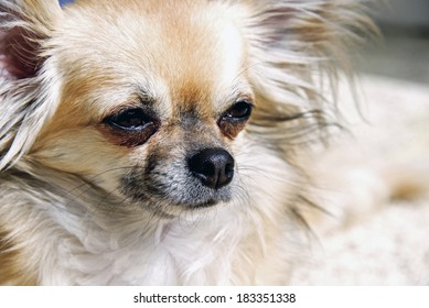 Long haired Chihuahua Puppy, pretty dog