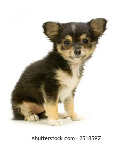 long haired chihuahua puppy sitting in front of white background