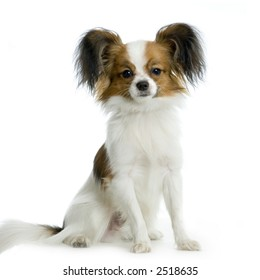 long haired chihuahua sitting in front of white background
