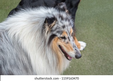 Long haired Collie.