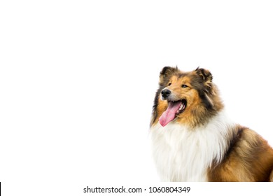 Long haired cute rough collie isolated on white background, portrait head shot