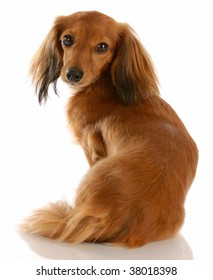 long haired dachshund with back to viewer looking at camera