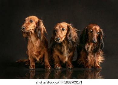 Long haired dachshund on dark background