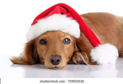 Long haired dachshund puppy wearing a Christmas Santa hat. Studio isolated on white.