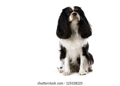 Long Haired King Charles Spaniel Dog Sitting Isolated on a White Background Looking Up