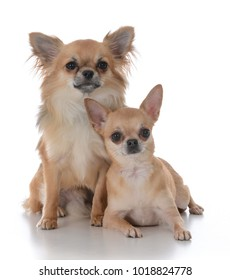 long haired  male and short haired female chiuhuahua on white background