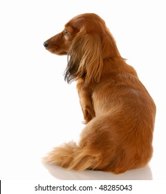 long haired miniature dachshund with back to view with reflection on white background