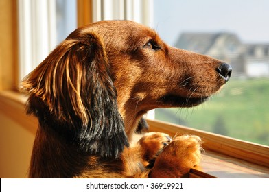 Long Haired Miniature Dachshund Looking out a Window