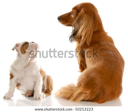 Long Haired Miniature Dachshund Sitting Beside Stock Photo