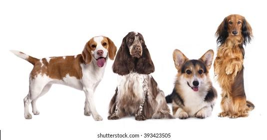 long haired miniature dachshund and standard dachshund and shepherd