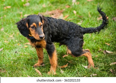 Long haired mixed breed puppy dog prepares to poop in public parks green grass