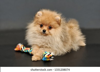Long haired red Pomeranian Spitz puppy with colorful rope toy on a black isolated background.