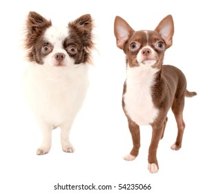 Long haired and smooth coat chocolate with white two chihuahua dogs isolated on white background