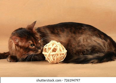 Long haired tabby cat lies near a wooden toy
