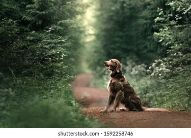long haired weimaraner dog sitting in the forest in summer