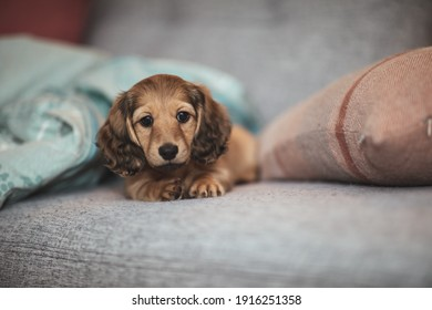 Long haired weiner dog puppy lying around the house