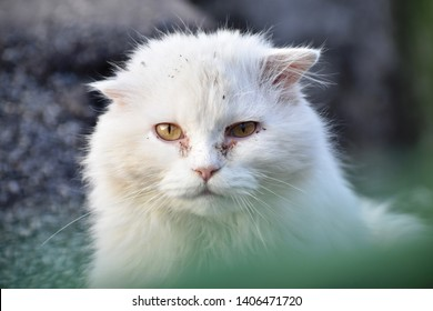 Long haired white cat living on the street, marked by hard life on the street - scarred tomcat