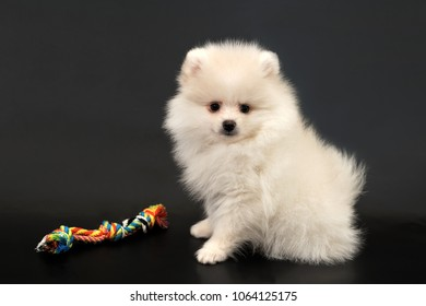 Long haired white Pomeranian Spitz puppy with colorful rope toy on a black isolated background.
