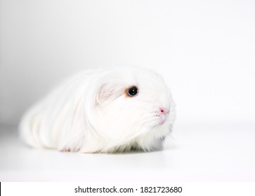 A long haired white Silkie Guinea Pig, also known as a Sheltie Guinea Pig