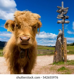 Long haired young highland cattle on a walking path with signs