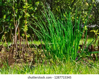 Long hollow leaves of chives also called allium schoenoprasum , bright and green stems in a sunny day ina vegetable garden