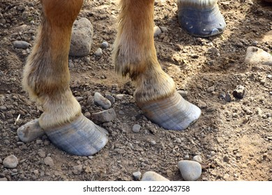 Too long hooves at an Icelandic horse. Stony ground.