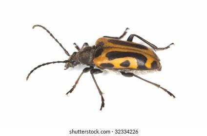Long horn beetle (Brachyta interrogationis) isolated on white background. Extreme macro photo.