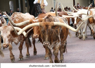 Long horn cattle at the Fort Worth Stockyard.