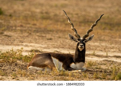 long horned blackbuck or antilope cervicapra or indian antelope closeup resting in green background at tal chhapar sanctuary rajasthan india
