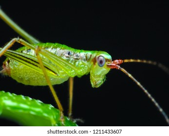 Long horned  Grasshopper (katydids) is beautiful green color. A macro that uses high magnification to see the details.