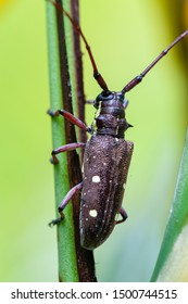 Long horned wood-boring beetle in tropical rainforest, Costa Rica