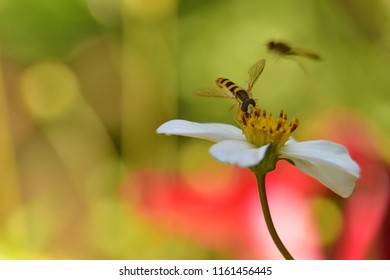 Long hoverfly or syrphid fly on a little white summer flower, blurry green, yellow, pink background