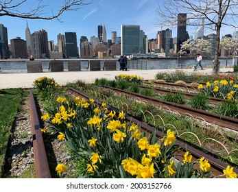 Long Island City, NY, USA April 17, 2018 Daffodils grow in a flower bed reclaimed from an abandoned railway line in Gantry State Park in Long Island City, New York