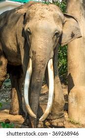long ivory elephant