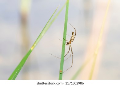 Long Jawed Orbweaver Spider (Tetragnatha) Lying in Wait on a Reed/Rush at a Marsh in Eastern Colorado
