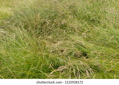A long leaf flatten squashed bushy green grass - close up background