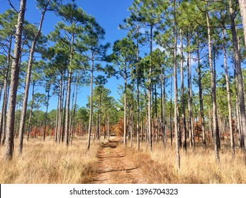Long leaf pine trees in the Croatian National Forest