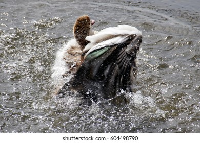 Long Legged Duck washes feathers in the water