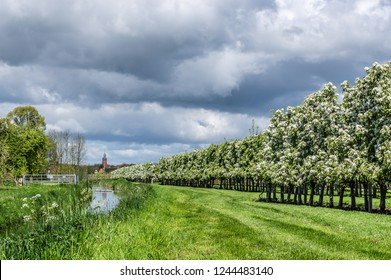 Long line of fruit trees in full blossom in  Dutch Betuwe area