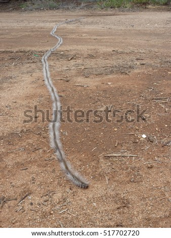 Long Line Hairy Processionary Caterpillars Outback Stock Photo Edit