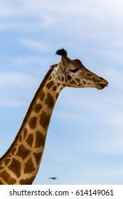 long neck of the giraffe