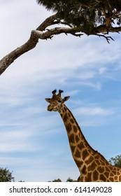 long neck of the giraffe under a tree