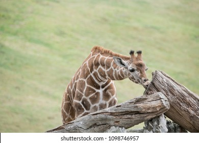 Long necked Giraffe chewing on a log