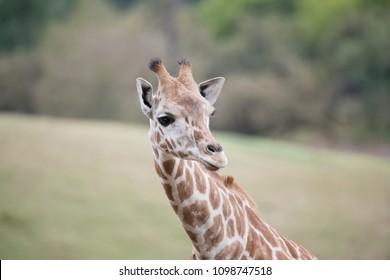 Long necked Giraffe portrait