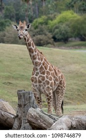 Long necked Giraffe with long purple tongue in its nose
