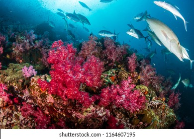 Long Nose Emperor changing texture and color as they hunt on a tropical coral reef