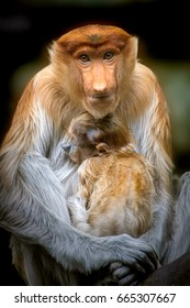 Long Nose monkey with baby